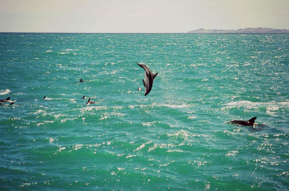 A Kaikoura vous pourrez également voir des dauphins obscurs.